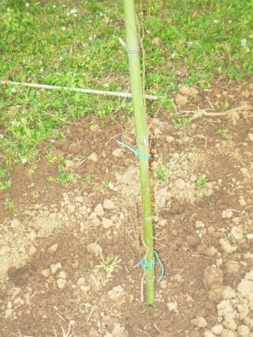 Celtis australis, Bagolaro