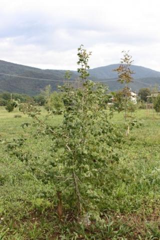 Crataegus monogyna, Biancospino