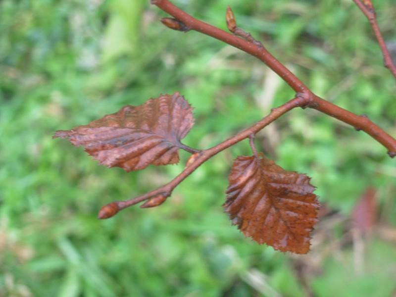 Carpinus betulus, Carpino bianco