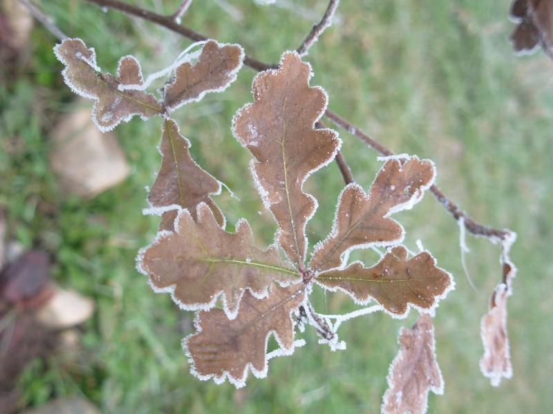 Quercus robur, Farnia