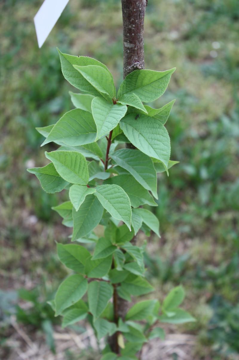 Prunus padus, Pado