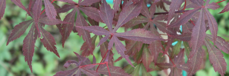 Acer palmaturm