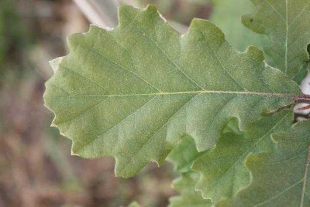 Quercus pubescens, Roverella