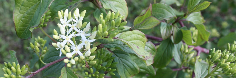Cornus sanguinea, Sanguinello