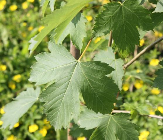Acer pseudoplatanus, Acero montano