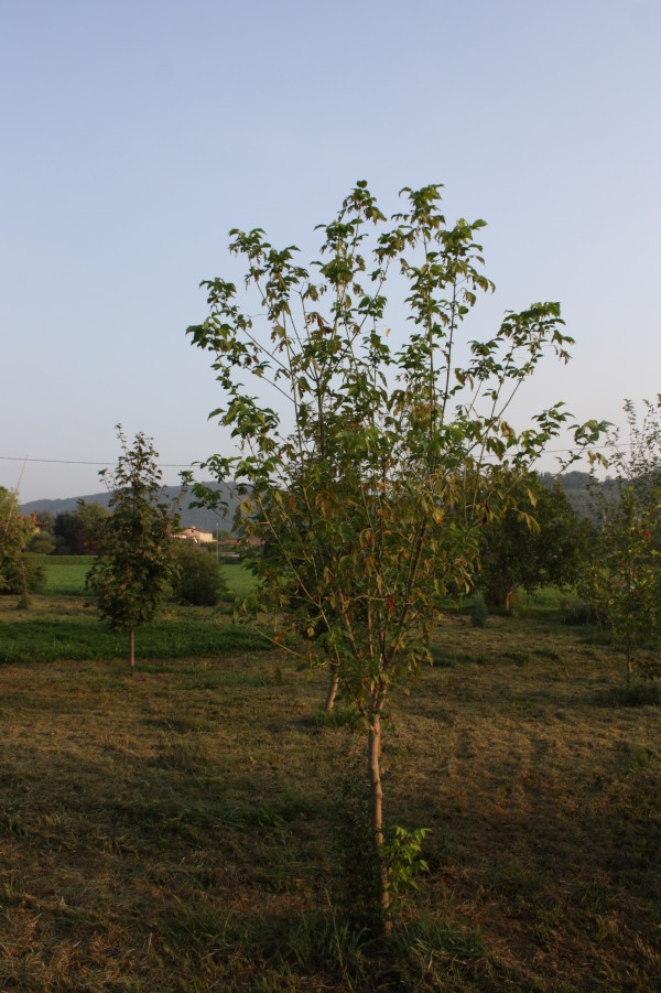 Acer negungo