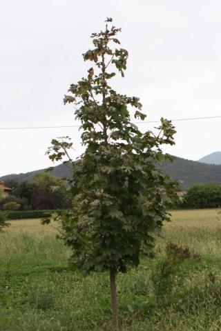 Acer platanoides, Acero riccio