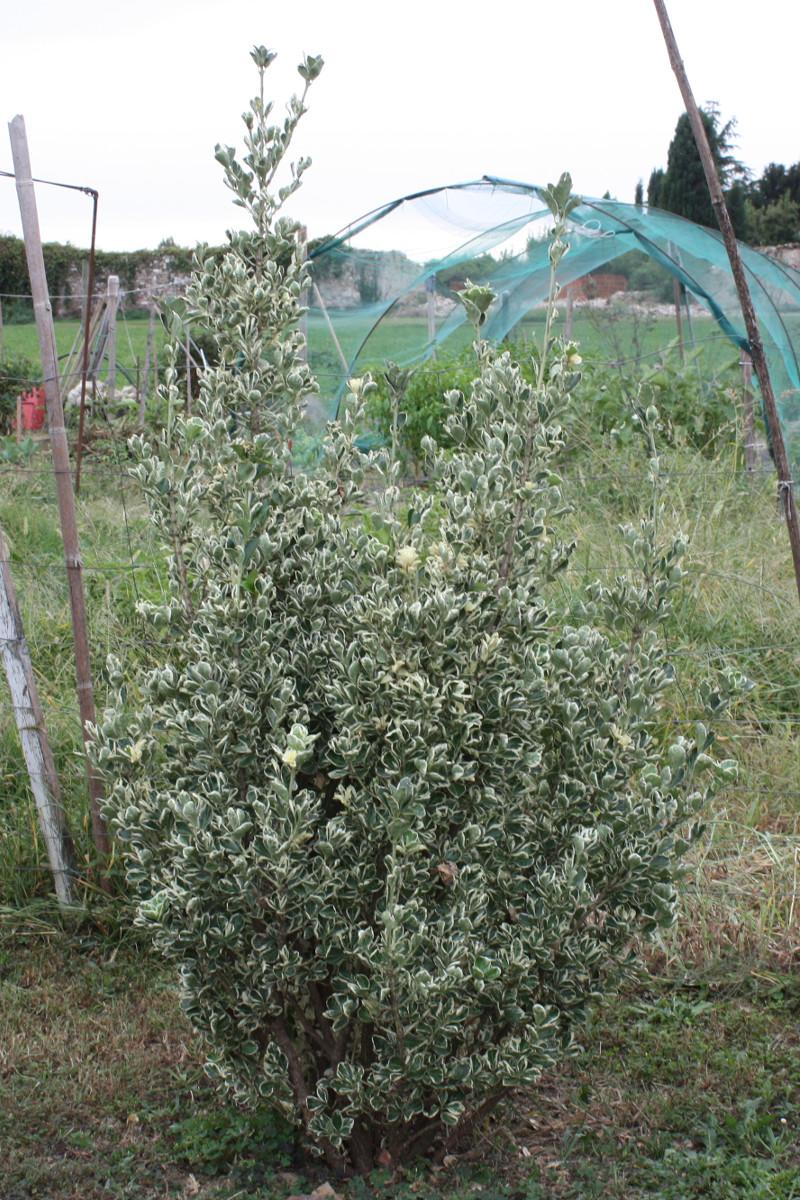 Euonymus fortunei, Evonimo variegato