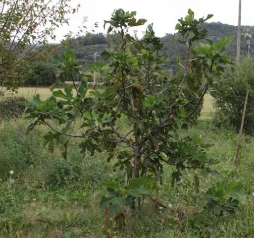 Ficus carica, Fico