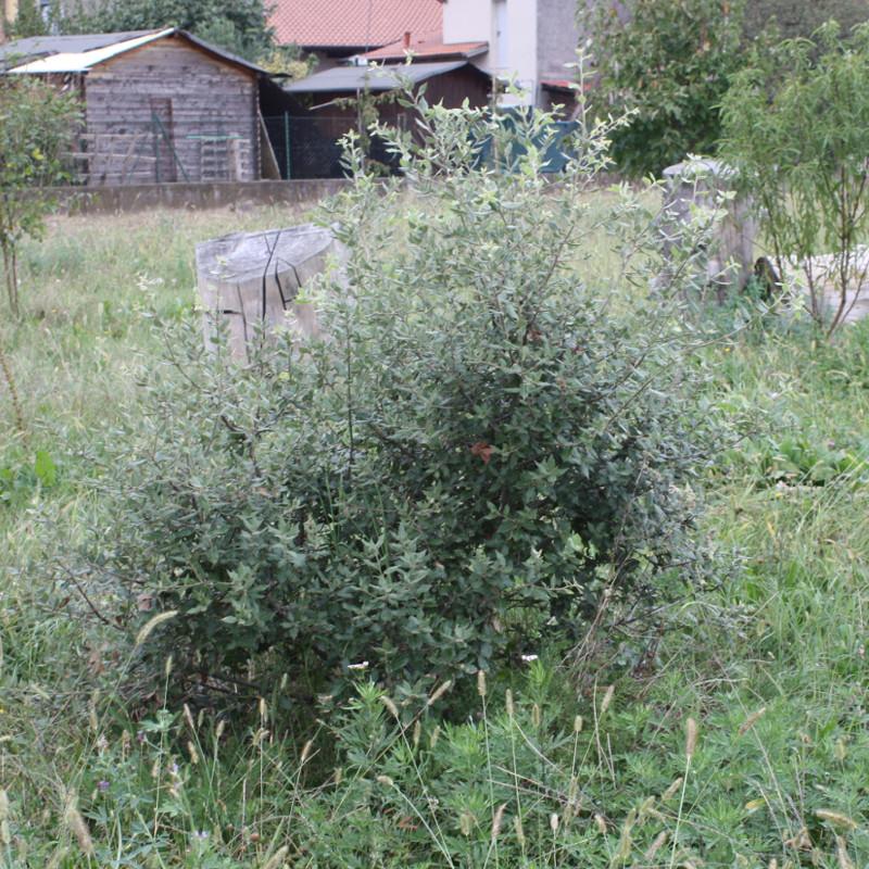 Quercus ilex, Leccio