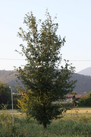 Quercus petrae, Rovere