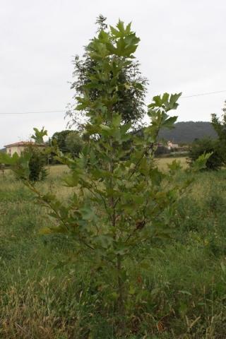 Platanus sp., Platano
