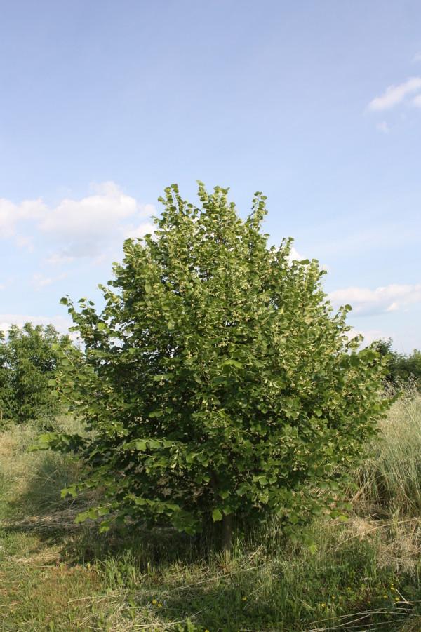 Tilia platyphyllos, Tiglio nostrano