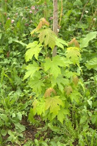 Acer saccharinum, Acero argentato