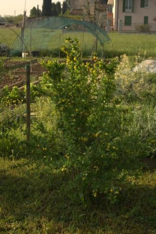 Berberis vulgaris, Crespino