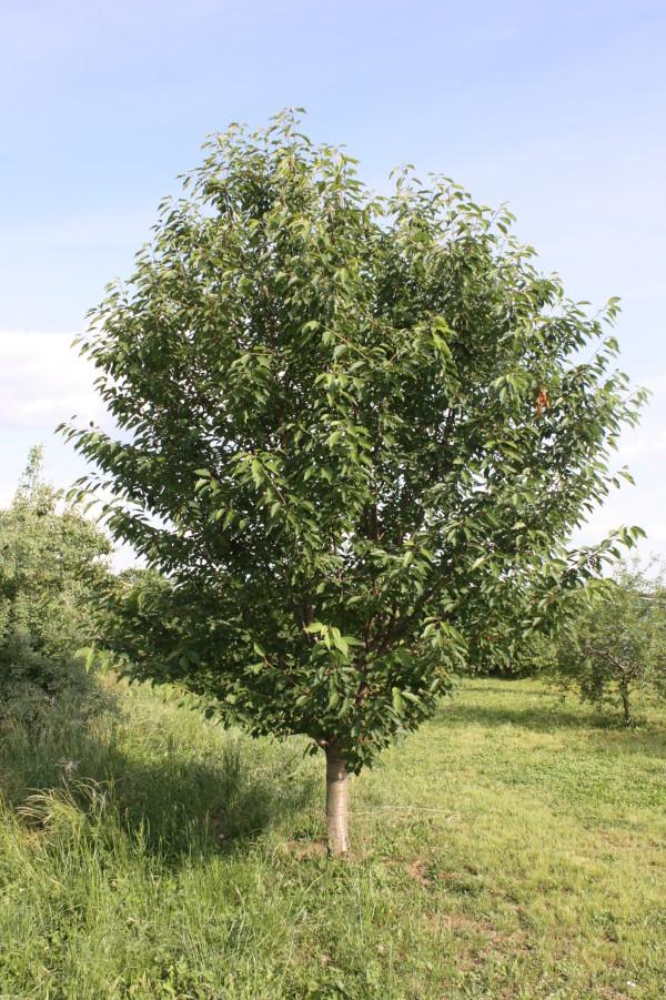 Prunus avium, Ciliegio selvatico
